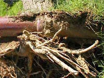 Débouchage canalisation par l'abattage de l'arbre
